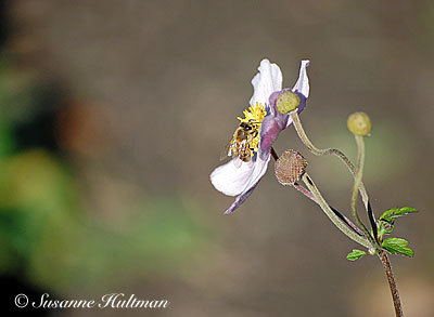 Ännu ett bi