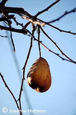 Hängande päron