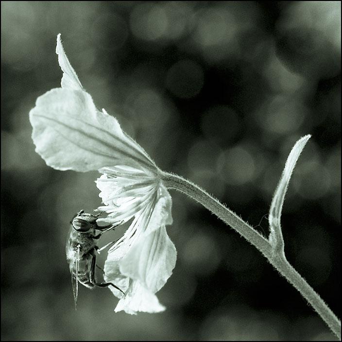 Bi på blomma