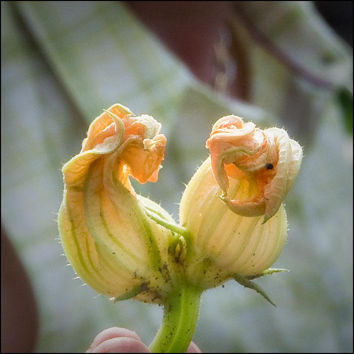 Zucchiniblommor