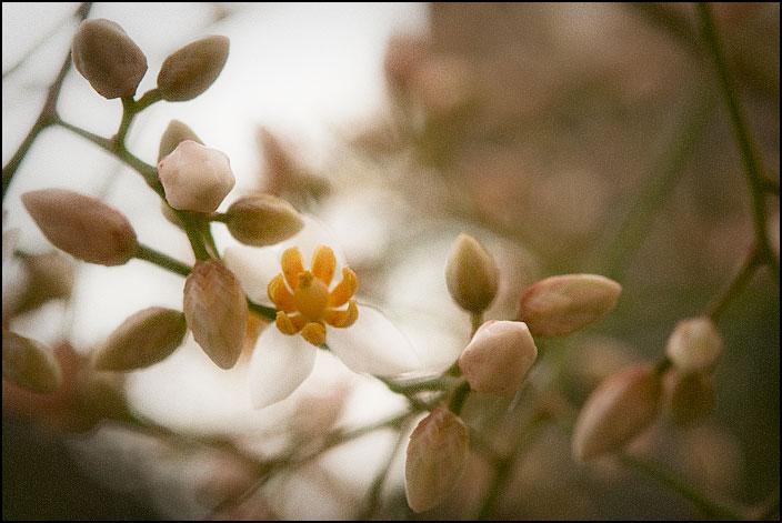 Skira blomster