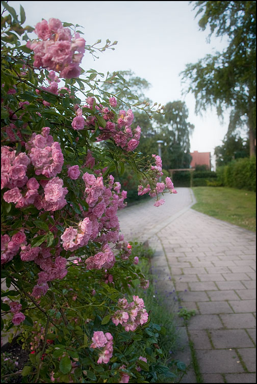 Rosa rosor i Rosengången