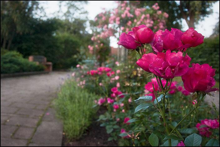 Röda rosor i Rosengången