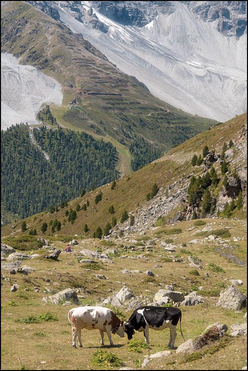 Lekande kor i Alperna