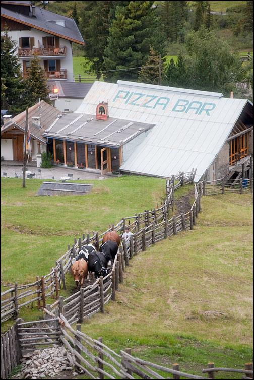 Mätta kor i Alperna