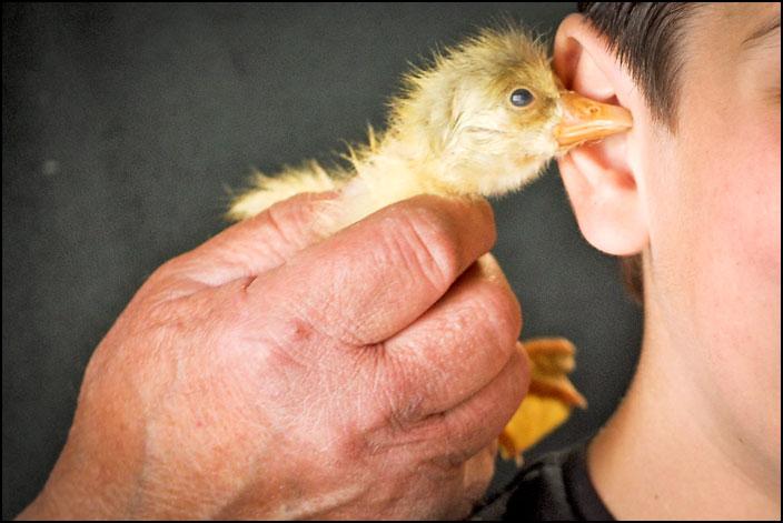 Kyckling i sonens öra