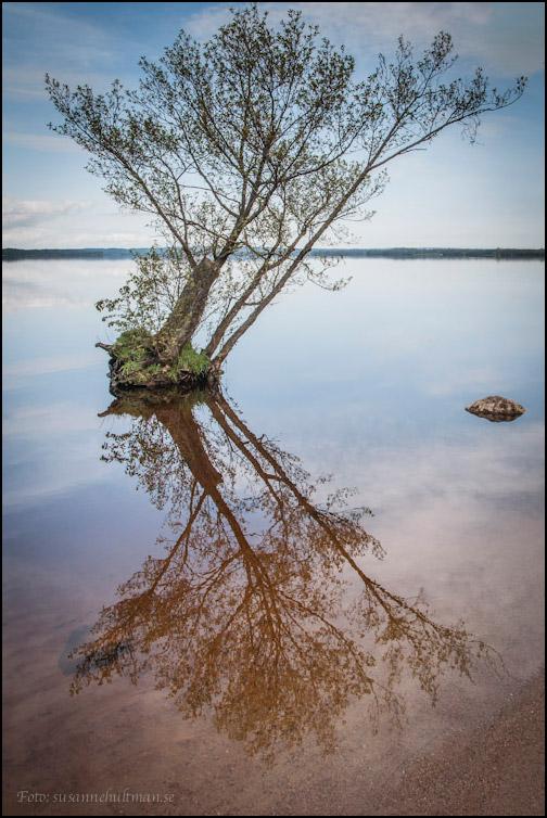 Träd som speglas i Ringsjön