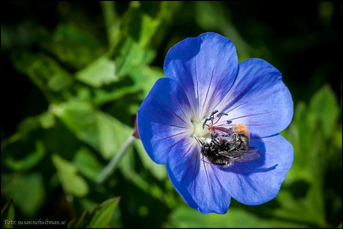 Blå blomma och humla