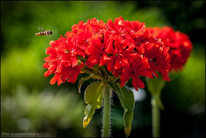 Bi vid röd blomma