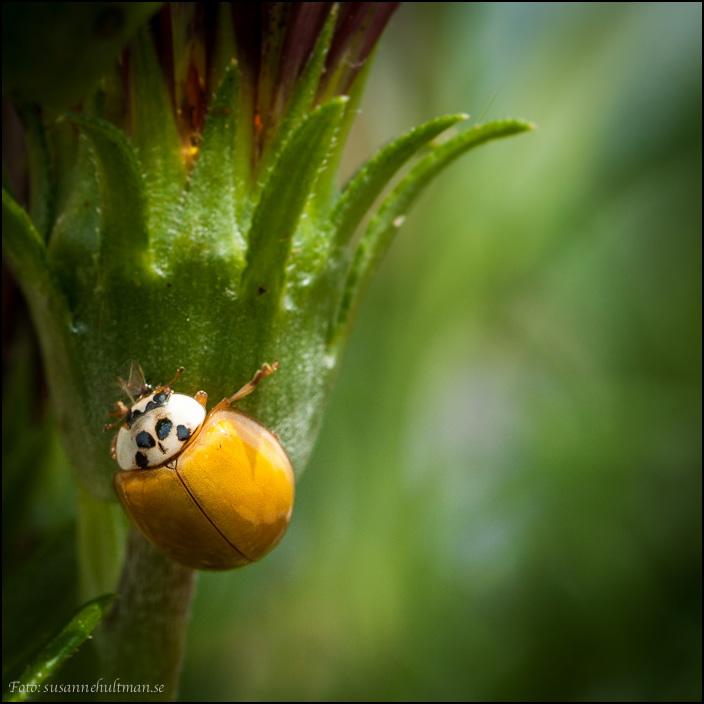 Nyckelpiga utan prickar på en blomma