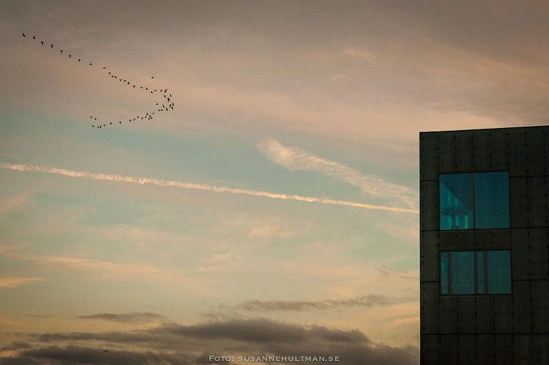 Flygande vildgäss