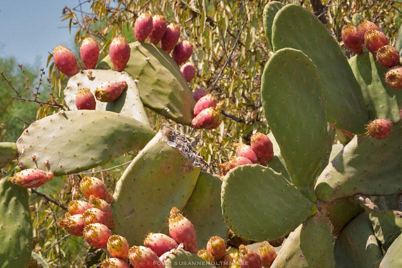 Kaktusfikon på kaktusblad