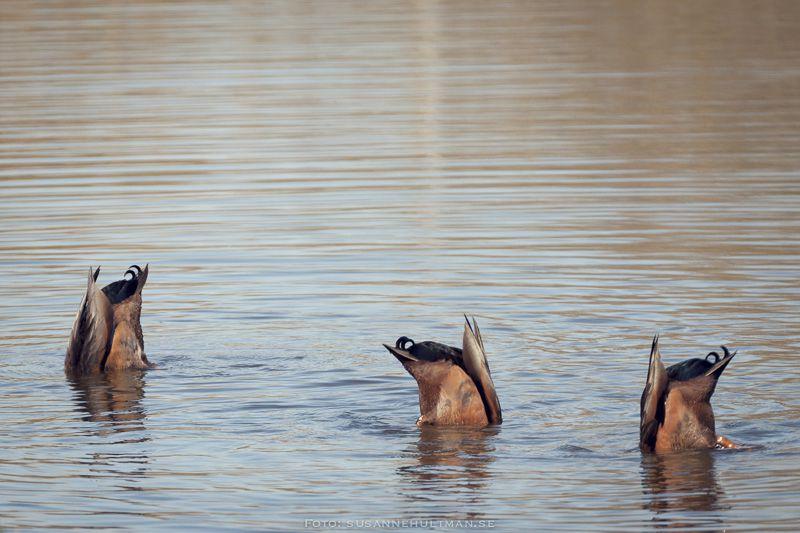 Tre andstjärtar i vattnet.
