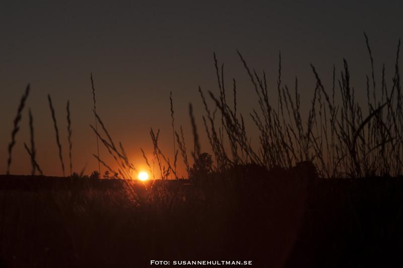 Solnedgång genom rågfält