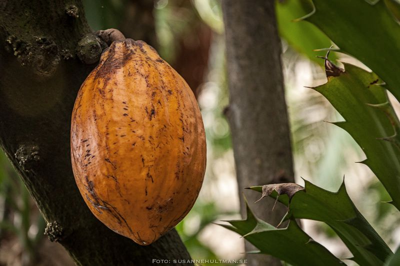 Stor orange frukt