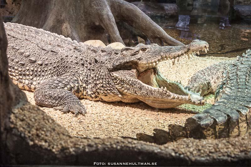 Krokodil med öppet gap