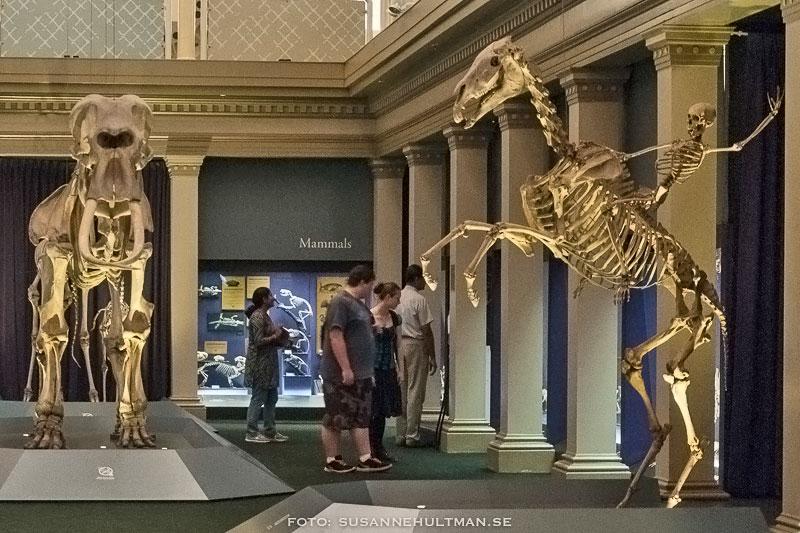 Skelett på Australian Museum