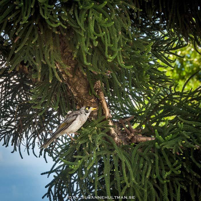 Okänd fågel i okänt träd