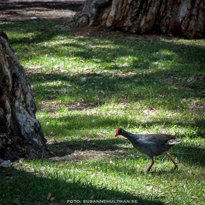 Svart fågel med röd näbb på gräs