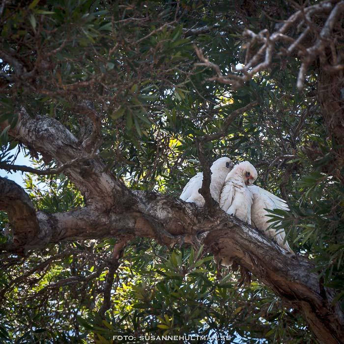 Vita kakaduor i träd