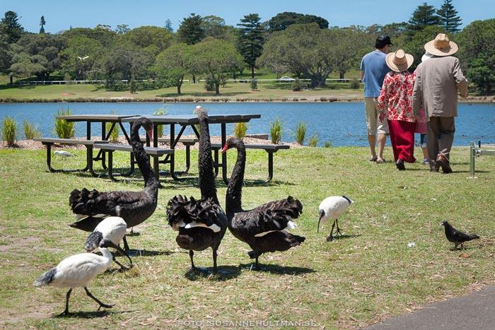 Svarta svanar och ibis med människor