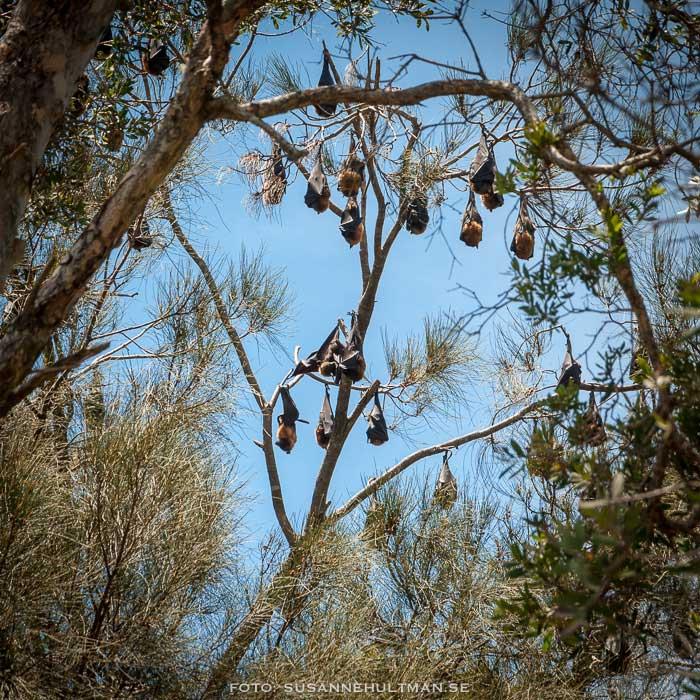 Fladdermöss i träd