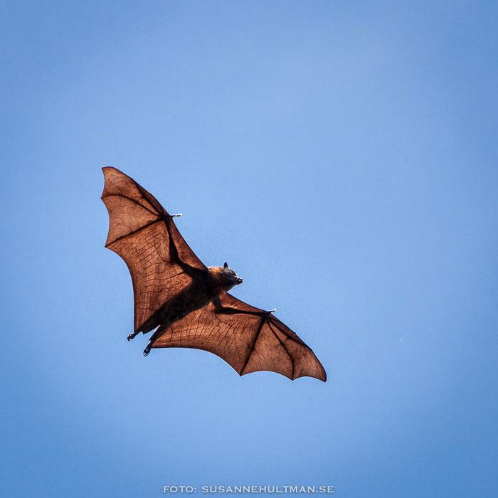 Flygande fladdermus