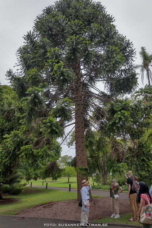 Araucariaträd