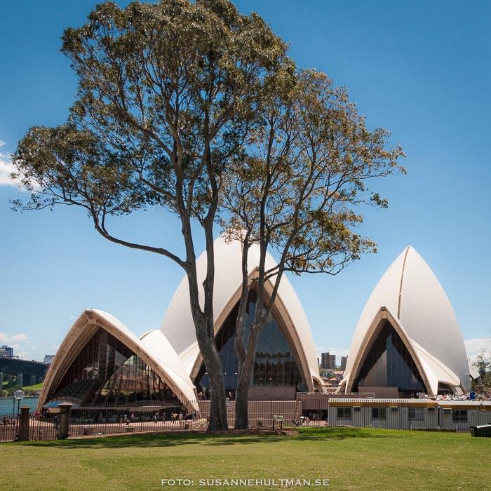 Sydney Opera House och ett eucalyptusträd