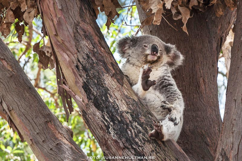 Koala i eucalyptusträd.