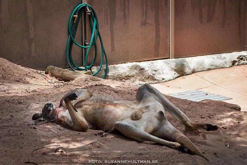Känguru vilar på rygg.