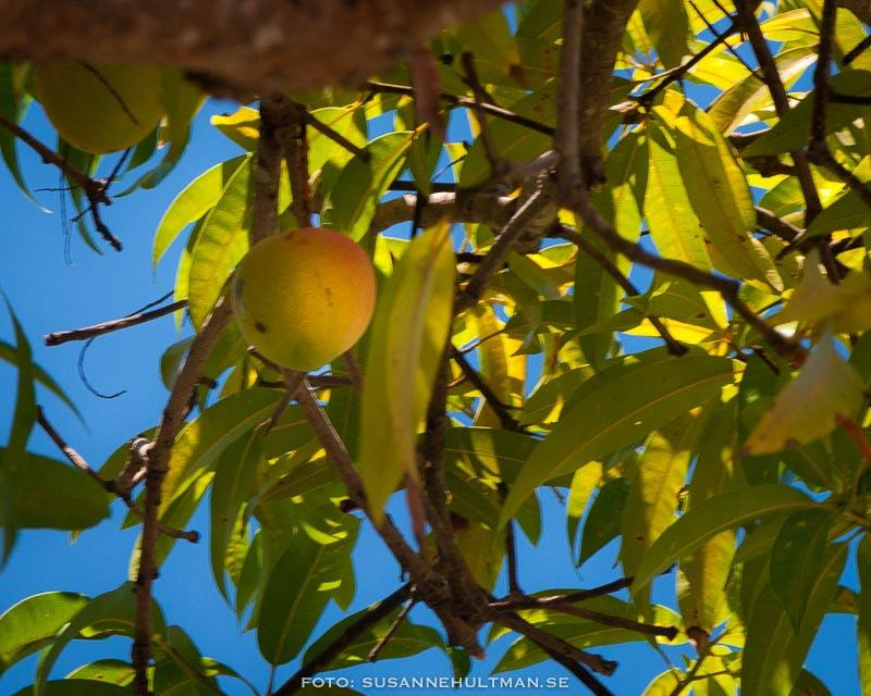 Mogen mango i träd