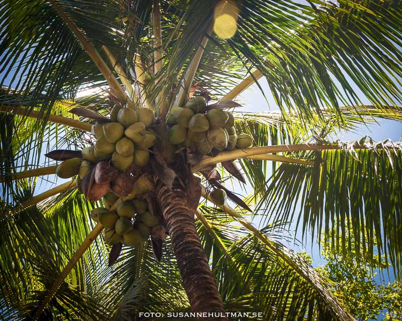 Kokospalm underifrån