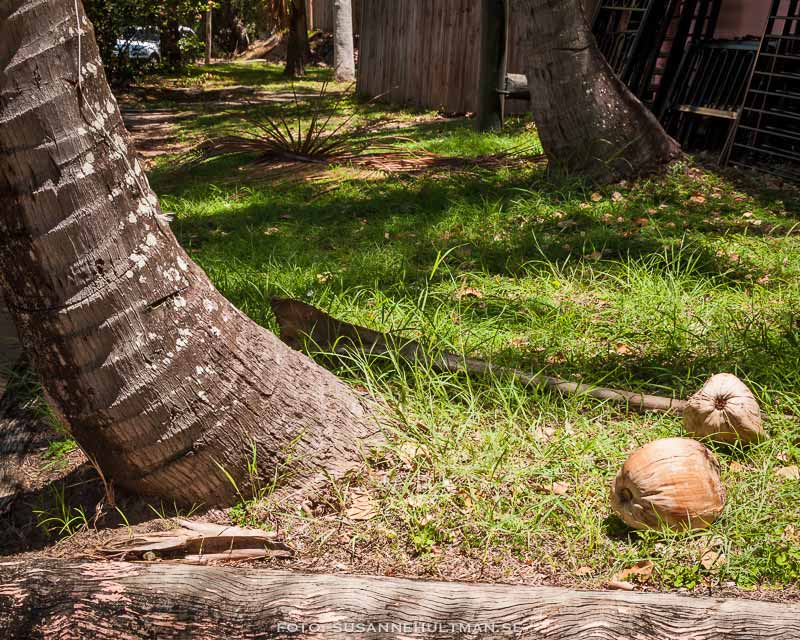 Kokosnötter på marken