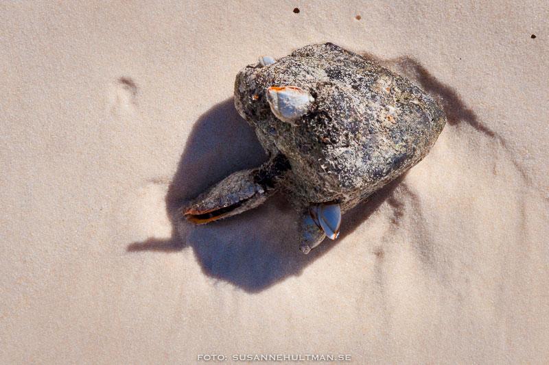 Sten med snäckor