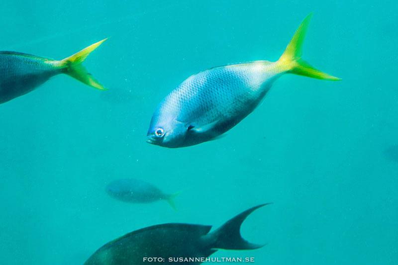 Blågul fisk