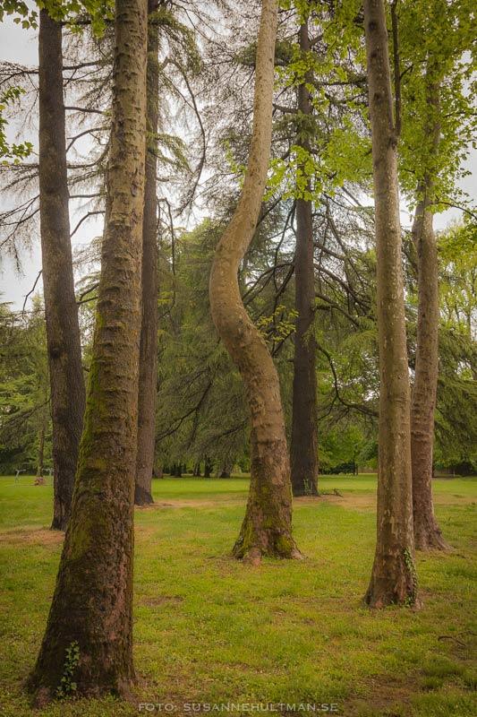 Ett krokigt träd bland raka.