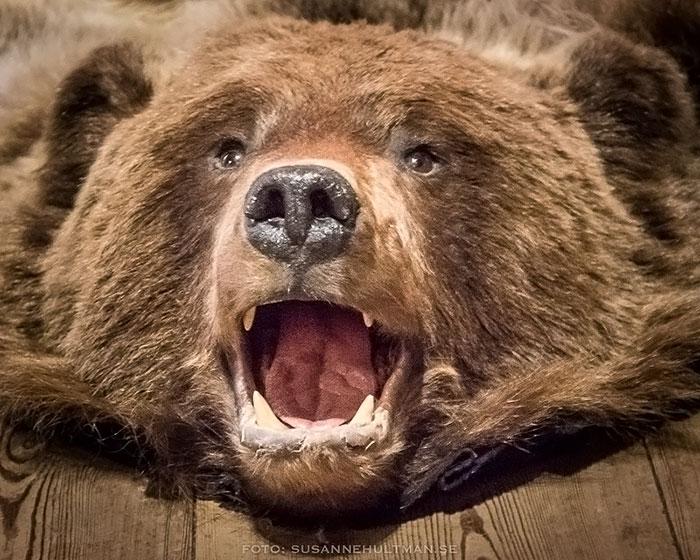 Uppstoppad björn som gapar