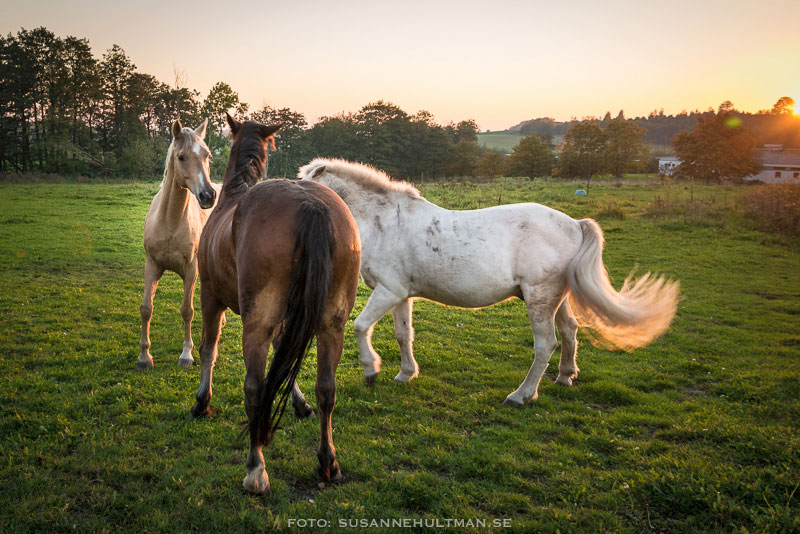 Tre ystra hästar