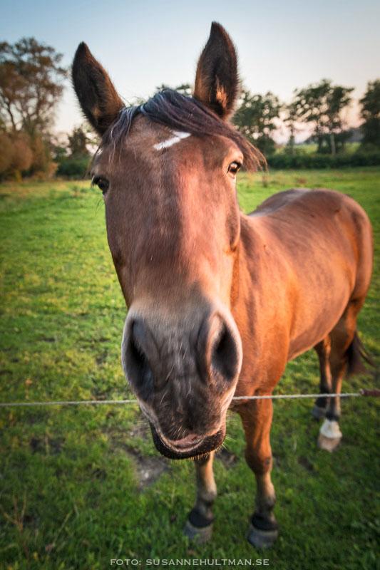 Häst i närbild med vidvinkelobjektiv