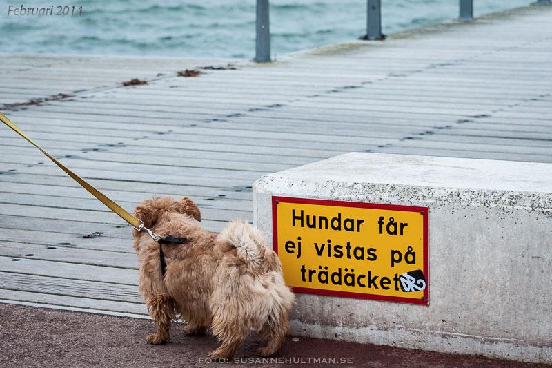 Hund vid skylt som förbjuder den att vistas på trädäcket.