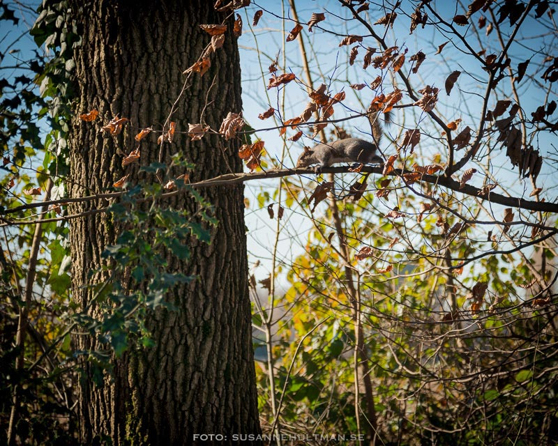 Ekorre på gren