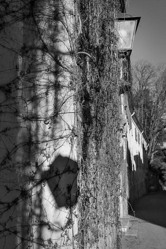 Vägg med murgrönsrankor och skugga från en gatlykta