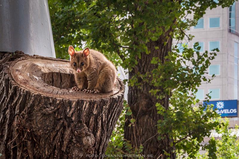 Possum i trädstam