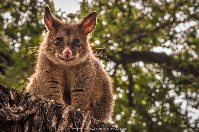 Närbild på possum i träd