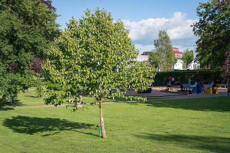 Näsduksträdet i Stadsparken