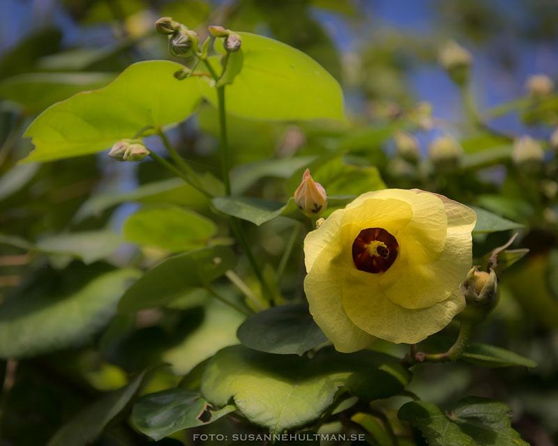 Gul hibiskusliknande blomma