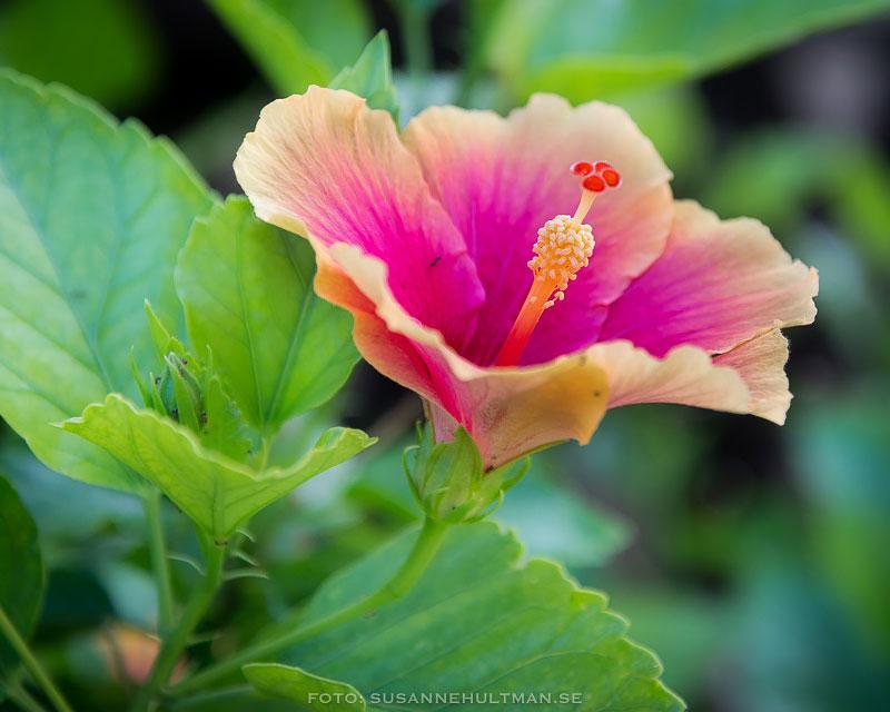 Rosa hibiskusblomma med orange kant