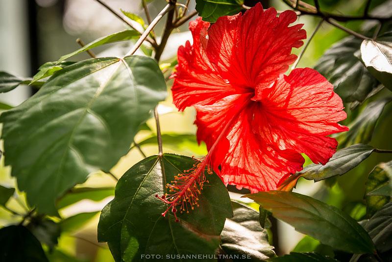 Röd hibiskusblomma