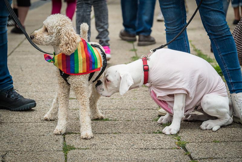 Två hundar klädda i regnbågsfärger respektive rosa.